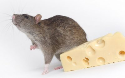 Treat Your People Like Really Smart Rats and 3 Other Manager Tips